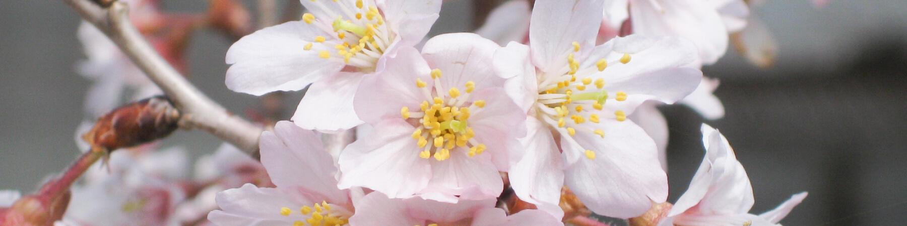 page|日本さくらの会