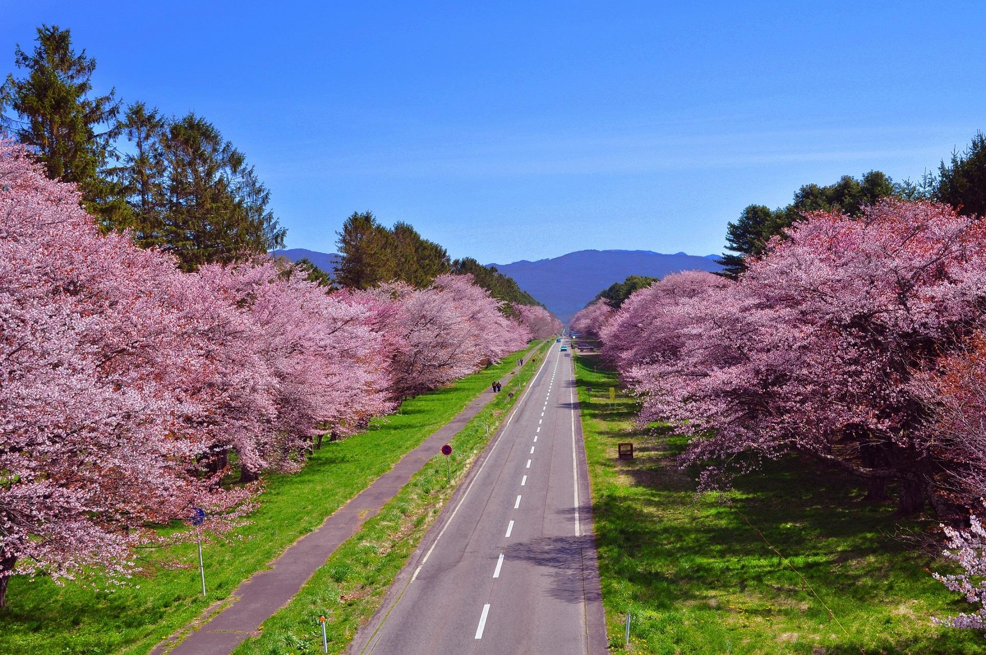 1 北海道新ひだか「二十間道路桜並木」