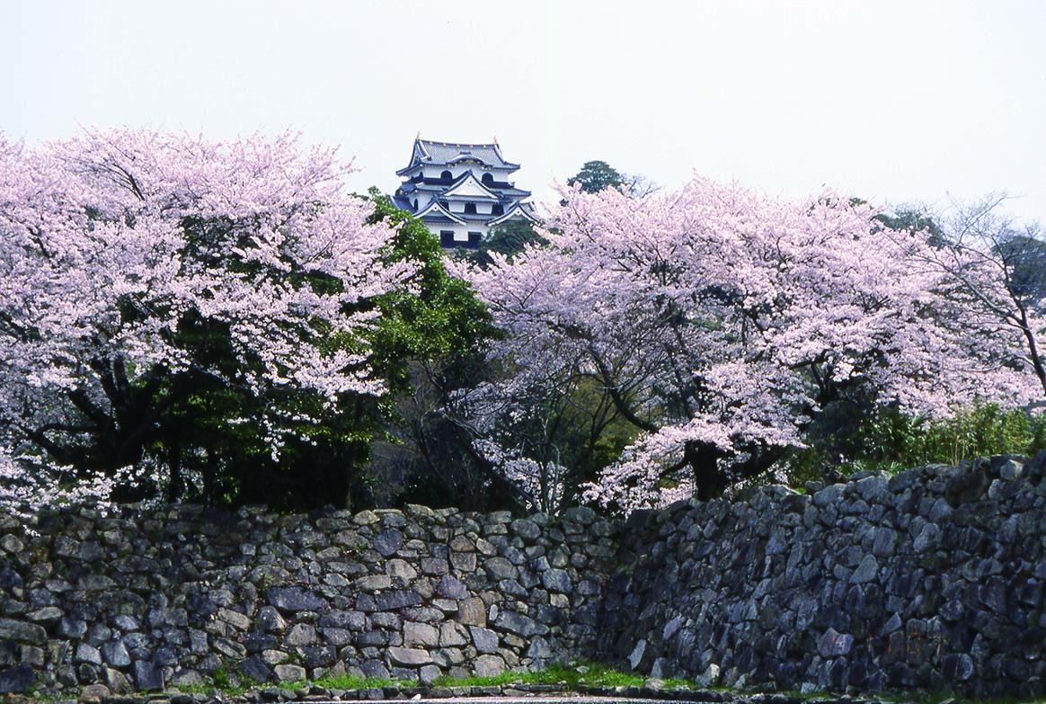 109_彦根城の桜