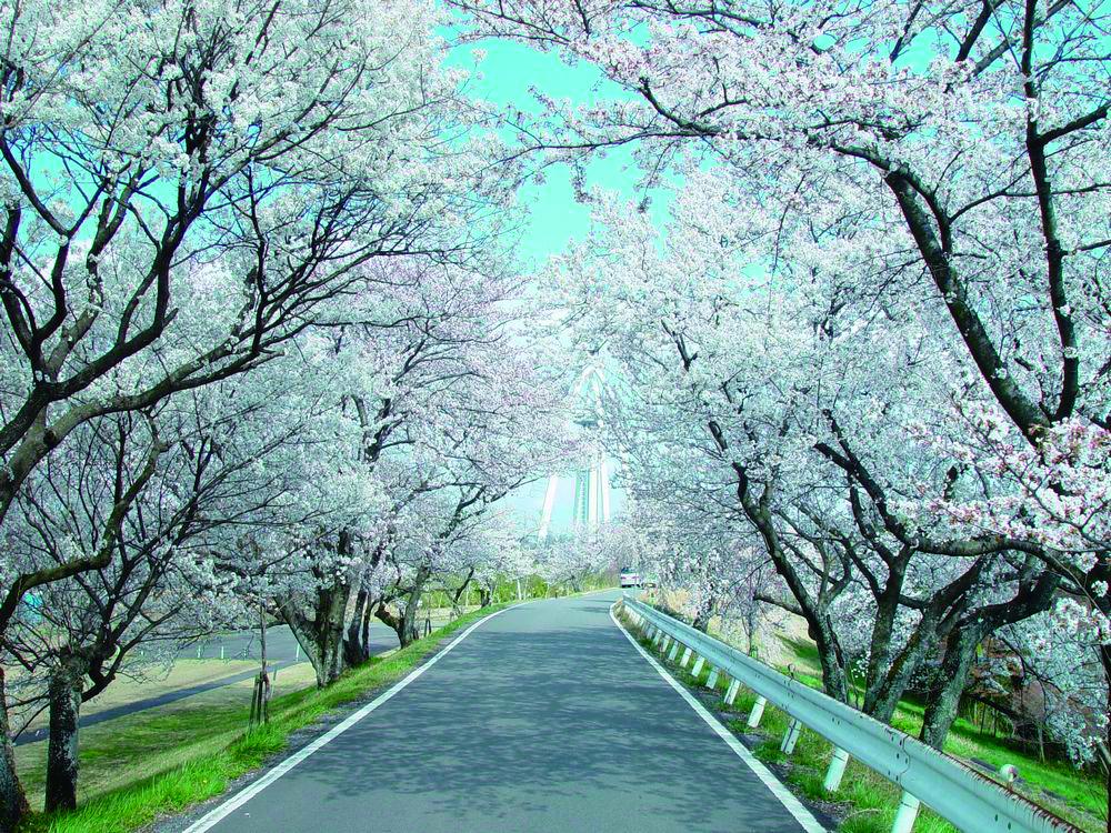 110_木曽川堤の桜