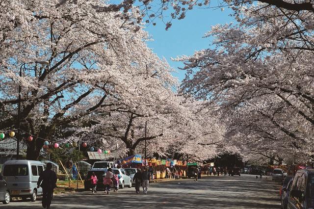 120_小林牧場桜