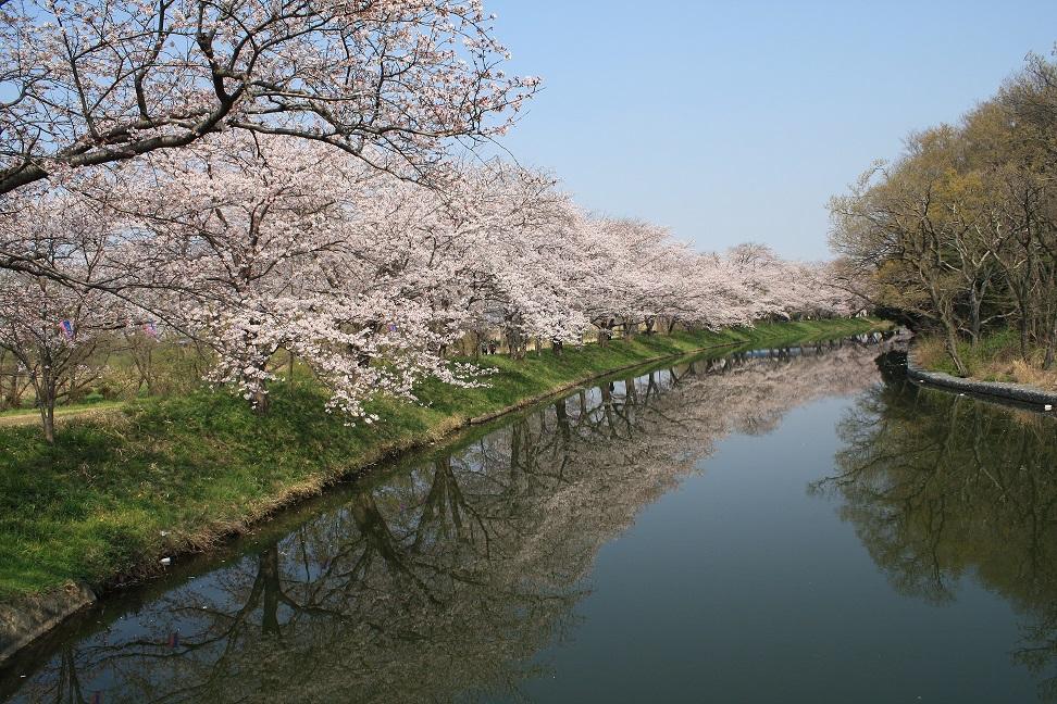 128_福岡堰桜並木