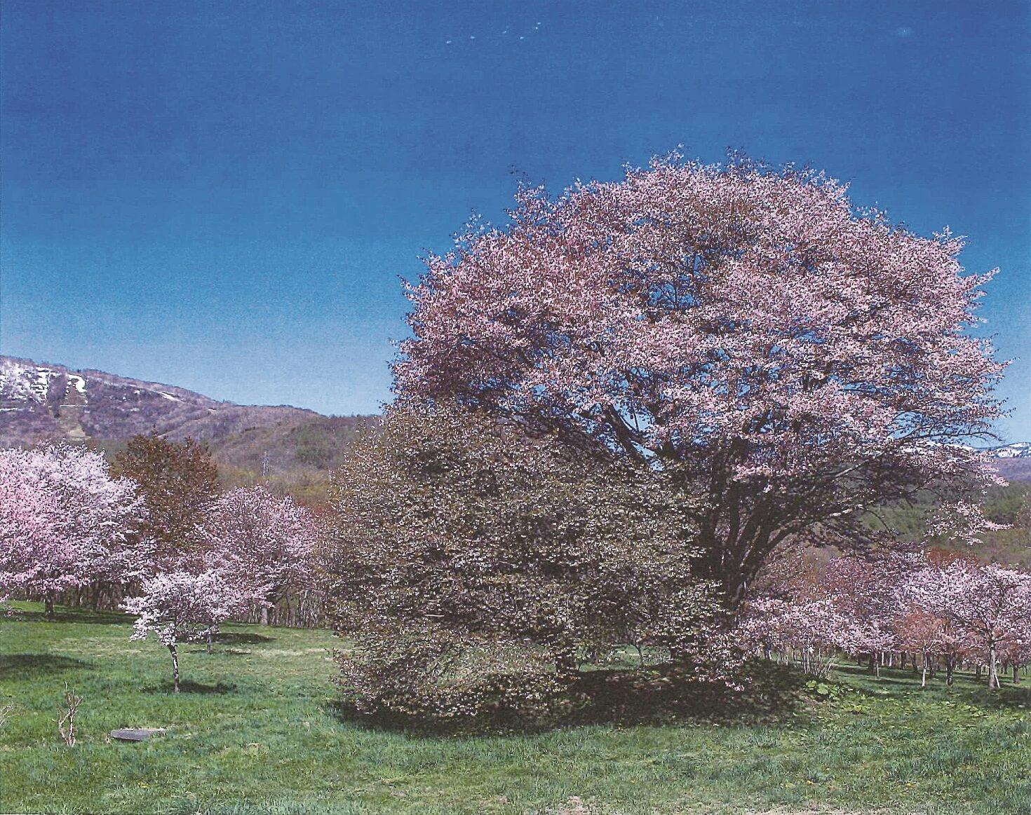 130_岩手県県民の森夫婦桜 (1)