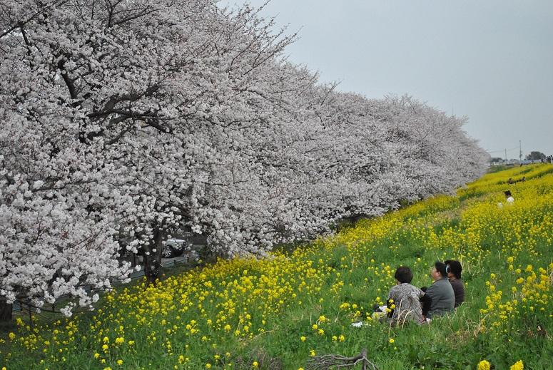 22 埼玉県熊谷市「熊谷桜堤」