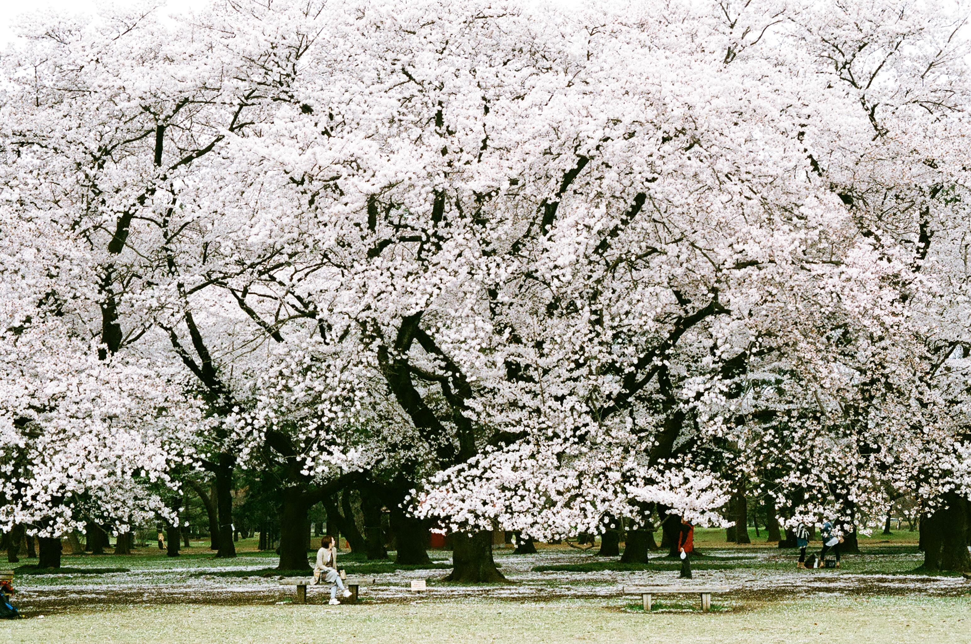31 東京都小金井市「小金井公園」