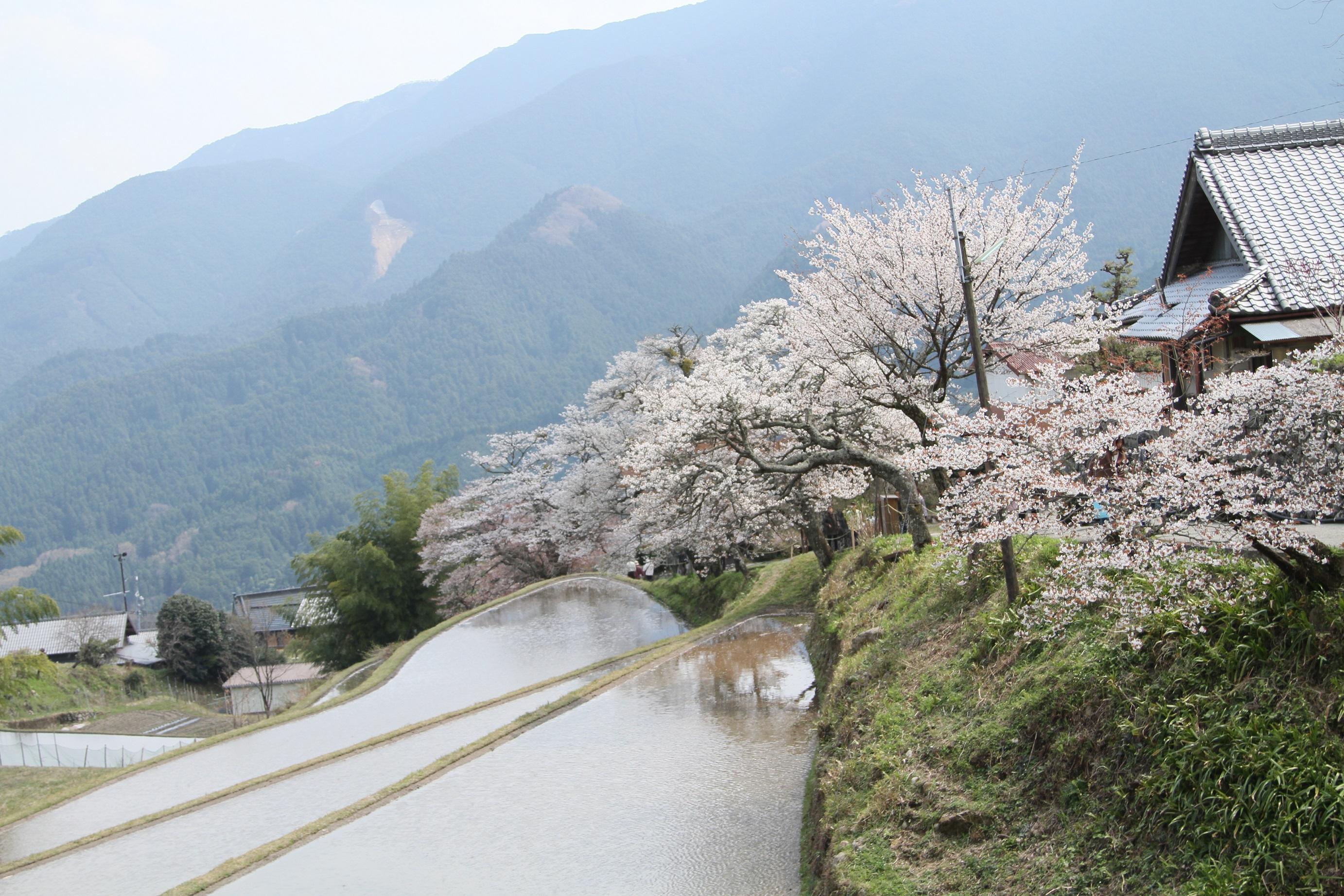 01 三多気の桜(津市美杉町三多気)2013~