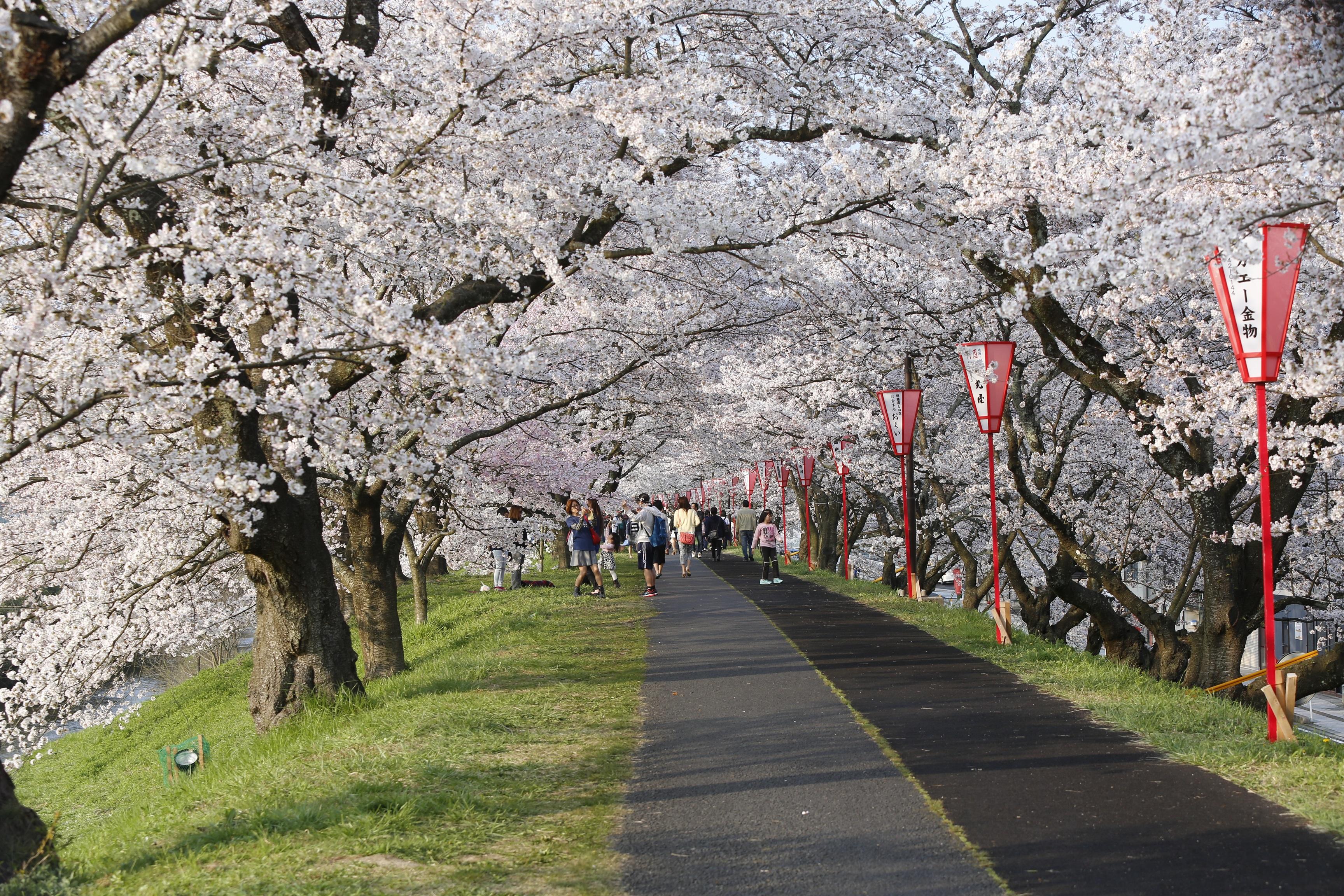 80 島根県雲南市「斐伊川堤防桜並木」
