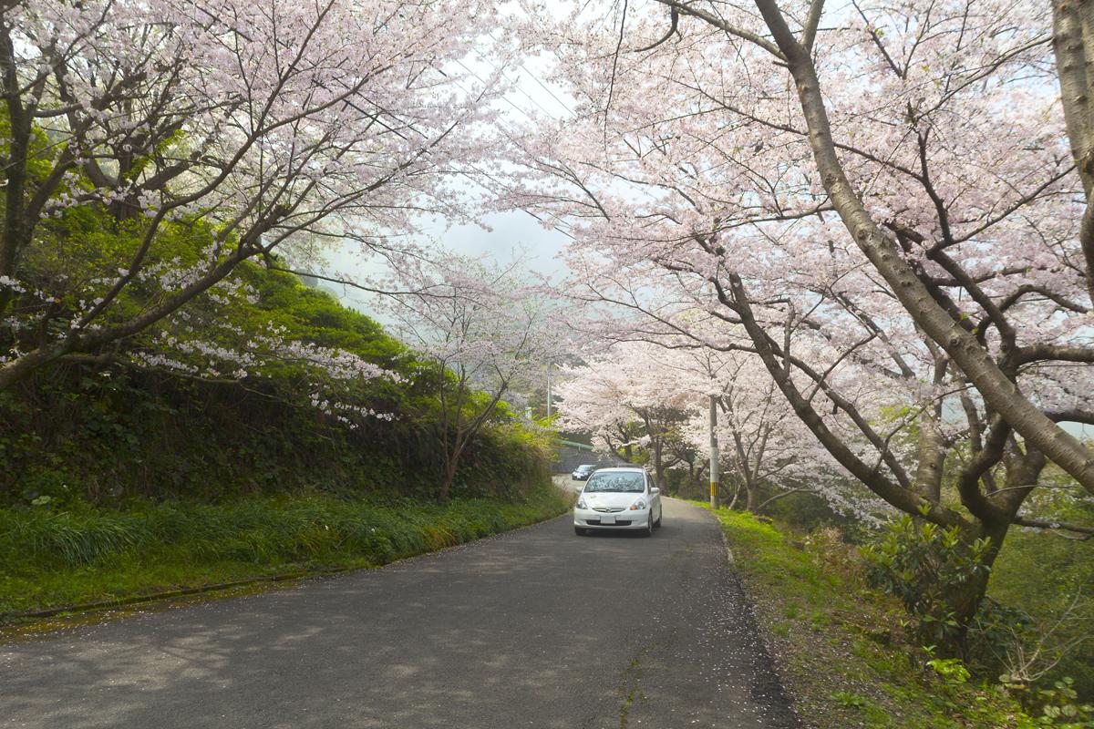 96 熊本県水俣市「水俣市チェリーライン」