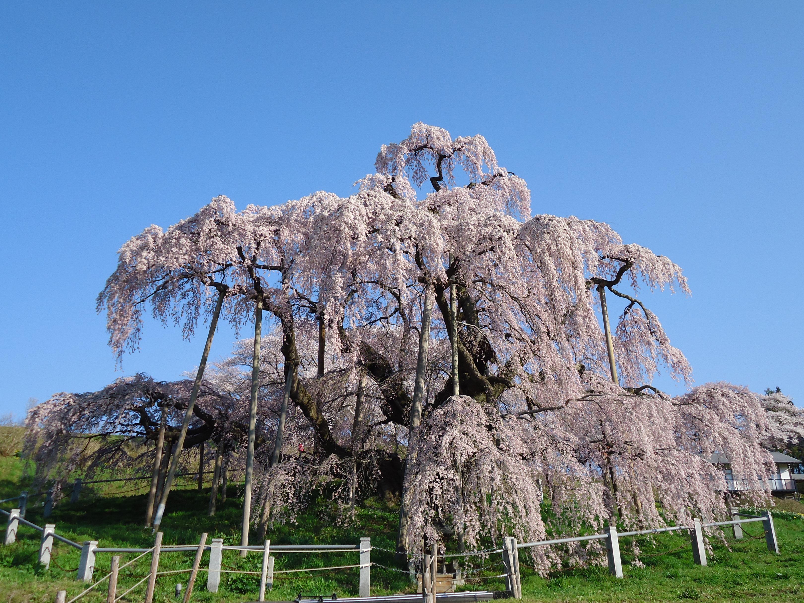 13 福島県三春町「三春町のシダレザクラ」